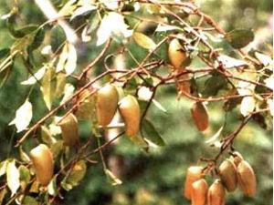 5-HTP - Griffonia simplicifolia